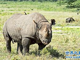 犀牛鸟是犀牛的好伙伴 他们互相帮助住在一起