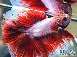 世界上最美丽的鱼 第一条叫做游泳艺术!