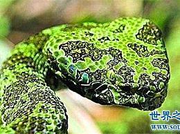 世界上最贵的毒蛇 中国邙山焊头(黑市价格:百万)