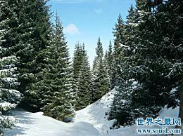 """世界上最忠实的树 """"老冷三友""""松柏如何忠实?"""