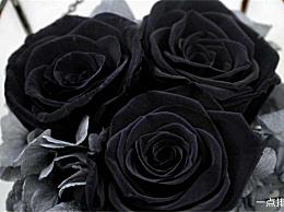 玫瑰色花朵语言大全红玫瑰热白玫瑰天真