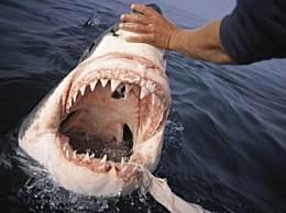 鲨鱼 世界上牙齿最硬的动物(10年的咬合力为18吨/2万颗牙齿)