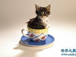 茶杯猫多少钱?大约6000只茶杯猫寿命很短