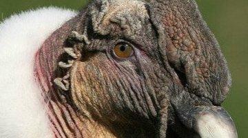 世界上最大的猛禽 安第斯狮鹫(安第斯文明的灵魂)