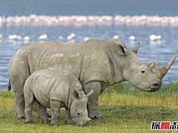 世界上只有一种最珍贵的动物?北白犀牛没有受孕的可能