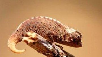 世界上最小的变色龙:迷你到小于指甲盖