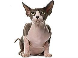你敢掌握世界上最有个性的猫吗?