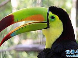世界上最大的有嘴的鸟 巨嘴鸟(嘴是身体的一半)