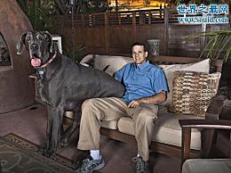 世界上最高的狗 乔治比人类长2.2米