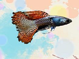 孔雀鱼品种大全孔雀鱼哪个品种好看