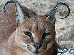 世界十大名猫 这只猫不是家猫!