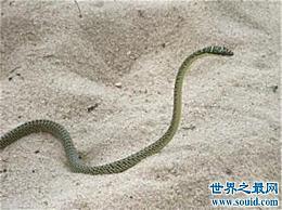 玻璃蛇的特征和形状简介大多数人认为它属于蜥蜴