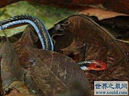世界上最神秘的蛇 长有蓝色腺体的珊瑚蛇