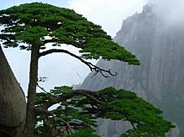 黄山十大名松是黄山的美丽奇观(每一棵都展现了自然之美)