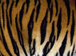 关于老虎的十个事实 了解你不知道的百兽之王