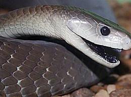 移动最快的蛇:黑曼巴蛇 以每小时14-20公里的速度奔跑