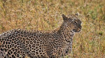 史前时期最强壮的猎豹――桑给巴尔豹(已灭绝)