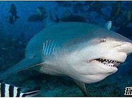 世界上最凶猛的淡水鱼排名牛鲨喜欢打架 而且很暴力 会攻击人类