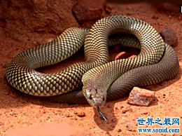 世界上最毒的蛇 它的毒液可以一次杀死数十万只老鼠(甚至数百人) (