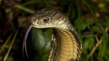 眼镜王蛇VS金色眼镜王蛇 眼镜王蛇是一种蛇精(体内有抗毒血清)