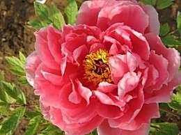 喜阳光但不耐高温的牡丹花栽培方法及注意事项