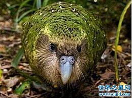 世界上唯一不会飞的鹦鹉 �^鹦鹉(世界上只有46种野生鸟类)