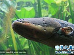 食人鱼的天敌是电鳗 电鳗的力量有多大