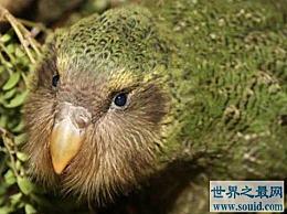 世界上唯一不会飞的鹦鹉 只有126只�^鹦鹉