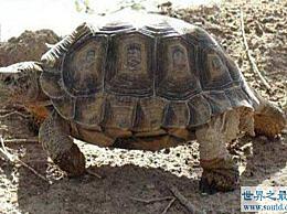 世界上最大的千年老龟 一只长2.6米 重916公斤的老龟