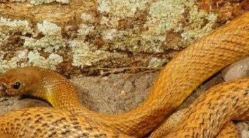 世界上最毒的蛇 大盘蛇(分泌毒液一次可以杀死100个成年人)
