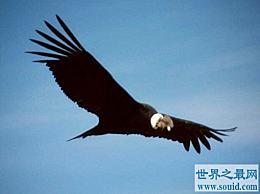 世界上最大的鹰 安第斯秃鹰 重30磅