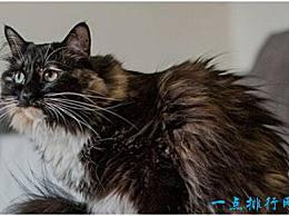 世界上最长的猫 体长25.68厘米 创造了吉尼斯世界纪录