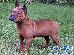 什么是川东猎犬 看起来又粗又重 但却聪明敏捷