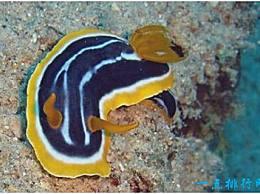 世界上最奇怪的海螺 海兔的身体表面没有壳