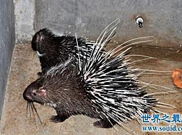 刺猬是世界上十种最酷的带刺动物中的第一种!