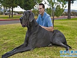 """""""大乔治"""" 世界上最大的狗 能站起来2.2米(惊人的胃口)"""