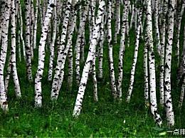 铁桦树 世界上最坚硬的树 甚至不能穿透子弹