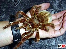 世界上最大的蜘蛛 亚马逊巨型食鸟蜘蛛(体长30厘米)