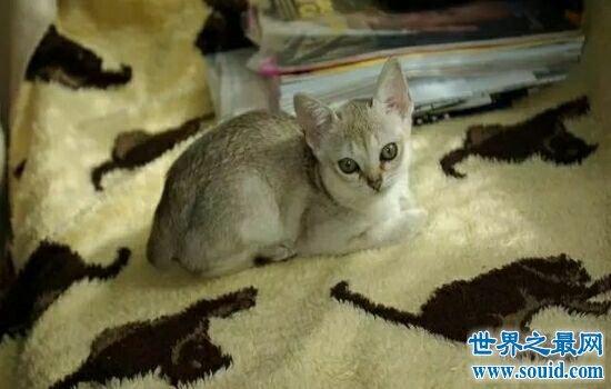 世界上体重最小的10个猫品种在成为钢铁中的直男之前不能放下它