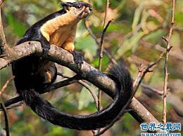 大松鼠成为最灵活的大人物 曾经偷坚果并逃脱监视射击