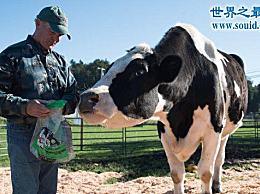 世界上最大的牛 美国黑白花牛(1.9米/体重2300公斤)