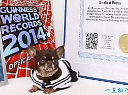 世界上最小的狗 看这只袖珍狗