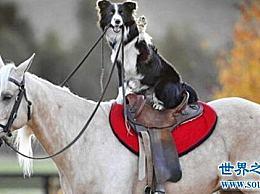 世界上最聪明的狗 边境牧羊犬智商最高 能骑马