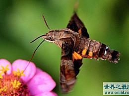 最美妙的飞蛾 飞蛾中的四种不同