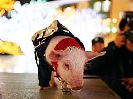大金猪明日有一波财运降临,金银财宝堆满屋!